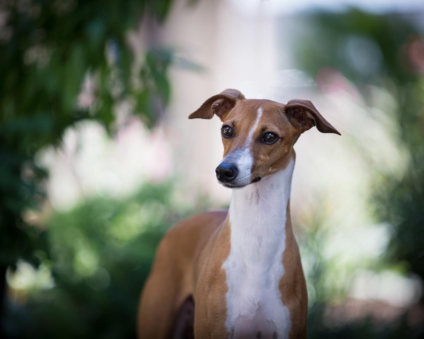 Kashmir Italian Greyhounds • Tango's Photo Gallery